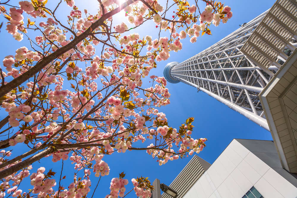 Tokyo Skytree with cherry blossoms in full bloom in Sumida district, Tokyo, Japan. Benny Marty/Shutterstock
